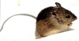 Rodent member of endangered ecosystem