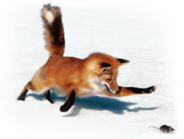 Red fox chasing a mouse