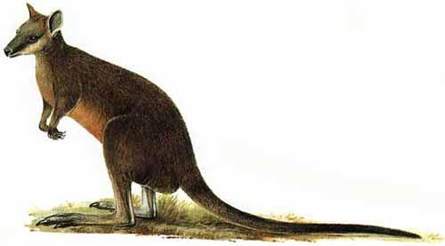 Wallaby wants no part of Gitmo