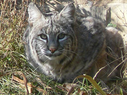 bobcat lynx rufus cheyenne mountain