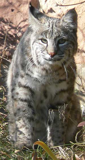 bobcat lynx rufus spotted on Cheyenne Mountain