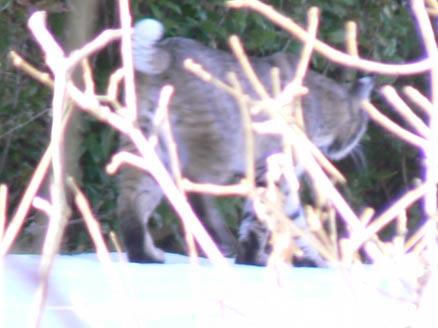 bobcat lynx rufus hunting
